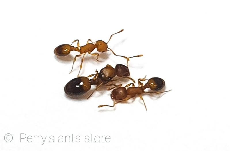 Temnothorax sp 15 to 30 workers