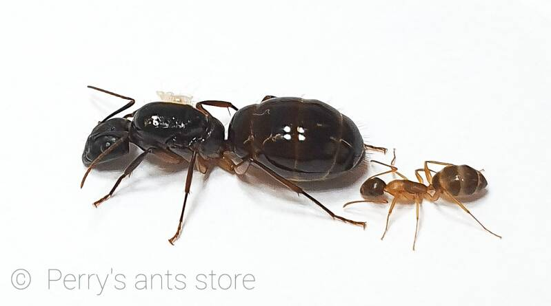 Camponotus samius 1 to 10 workers