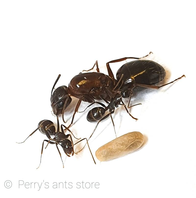 Camponotus sylvaticus 1 to 5 workers