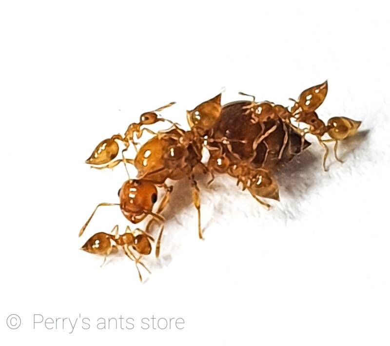 Crematogaster biroi 5 to 25 workers