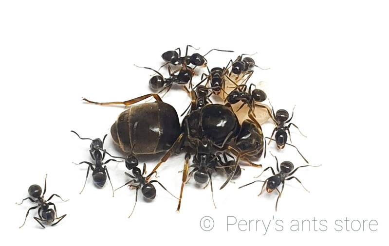 Lasius niger 1 to 10 workers