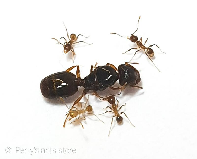 Pheidole pallidula 5 to 15 workers