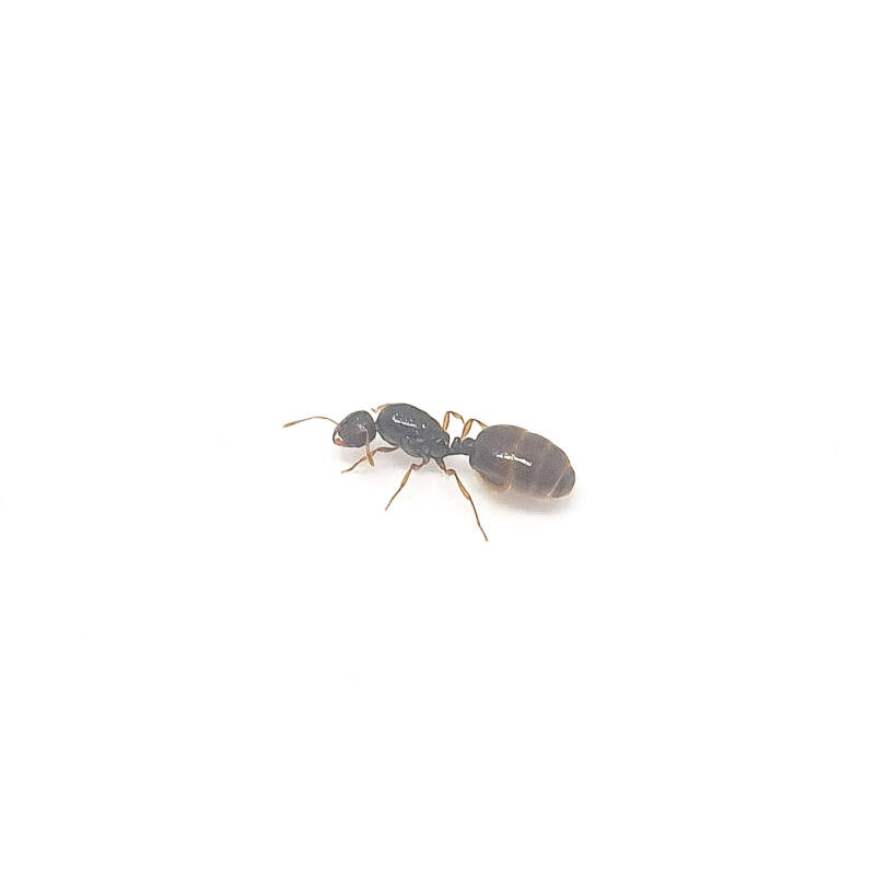 Solenopsis fugax 2 queens 5 to 15 workers