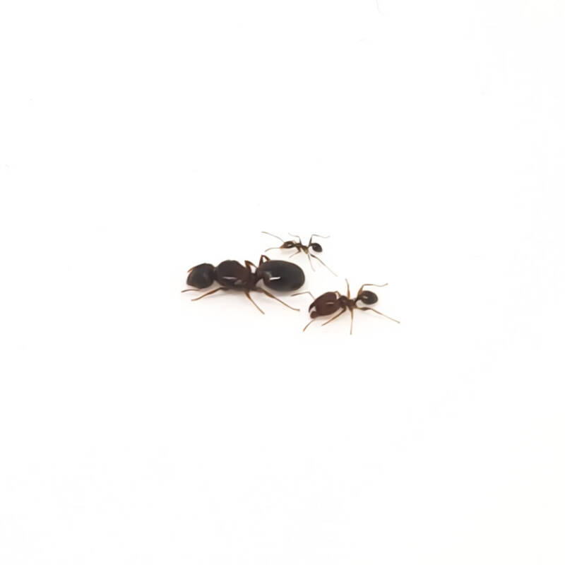 New: Pheidole indica 2 queens and 15 to 30 workers
