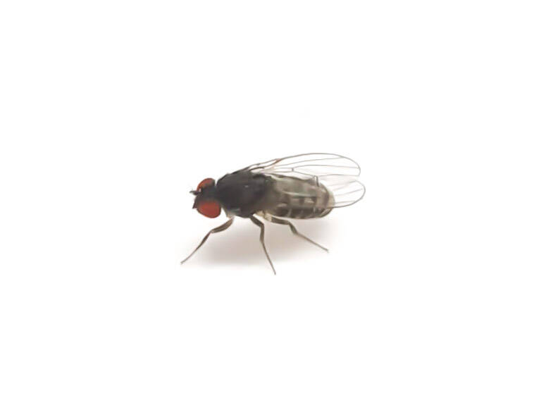 New: Fruitflies +- 200 pieces