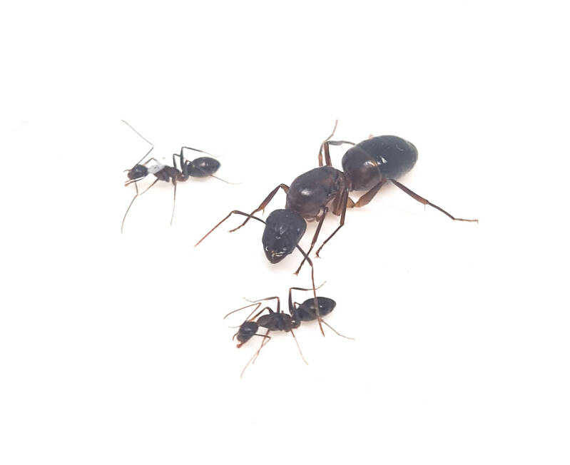 New: Camponotus barbaricus 1 to 10 workers