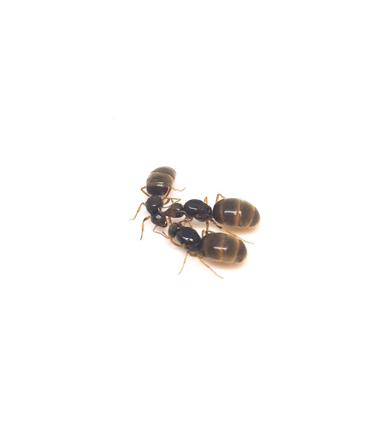 Lasius flavus 2 queens and 10 to 25 workers