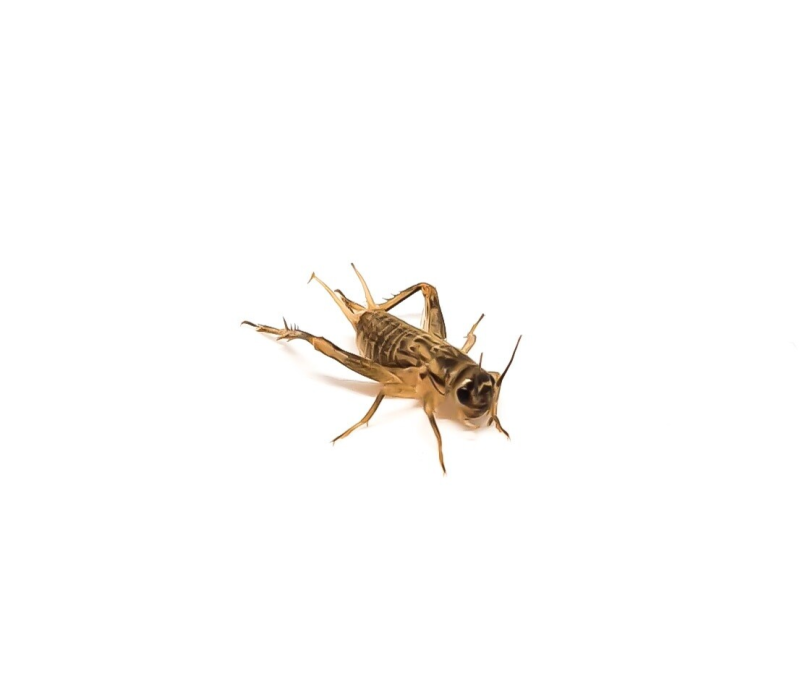 New: bowl of house crickets mix size 3 to 5