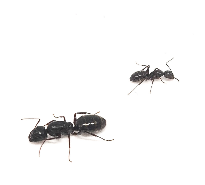 New: camponotus fallax 40 to 70 workers