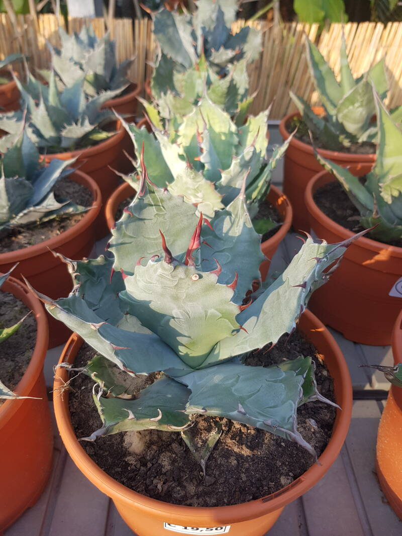 AGAVE COLORATA (SMALL)