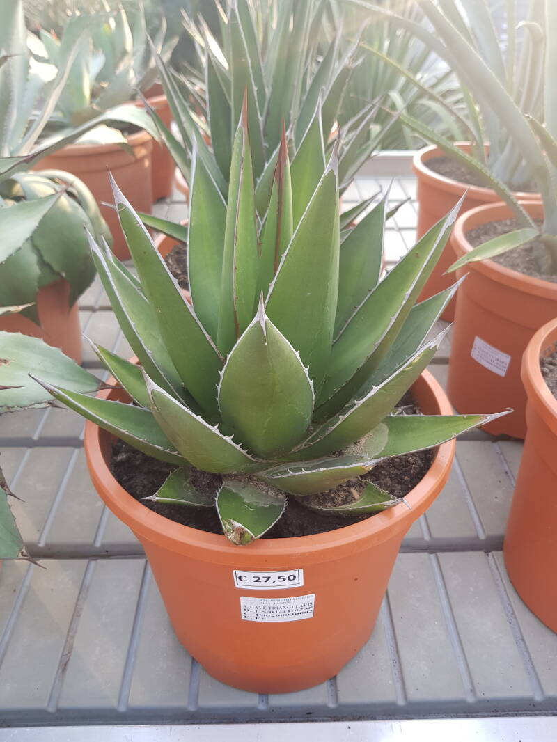 AGAVE TRIANGULARIS (MEDIUM)