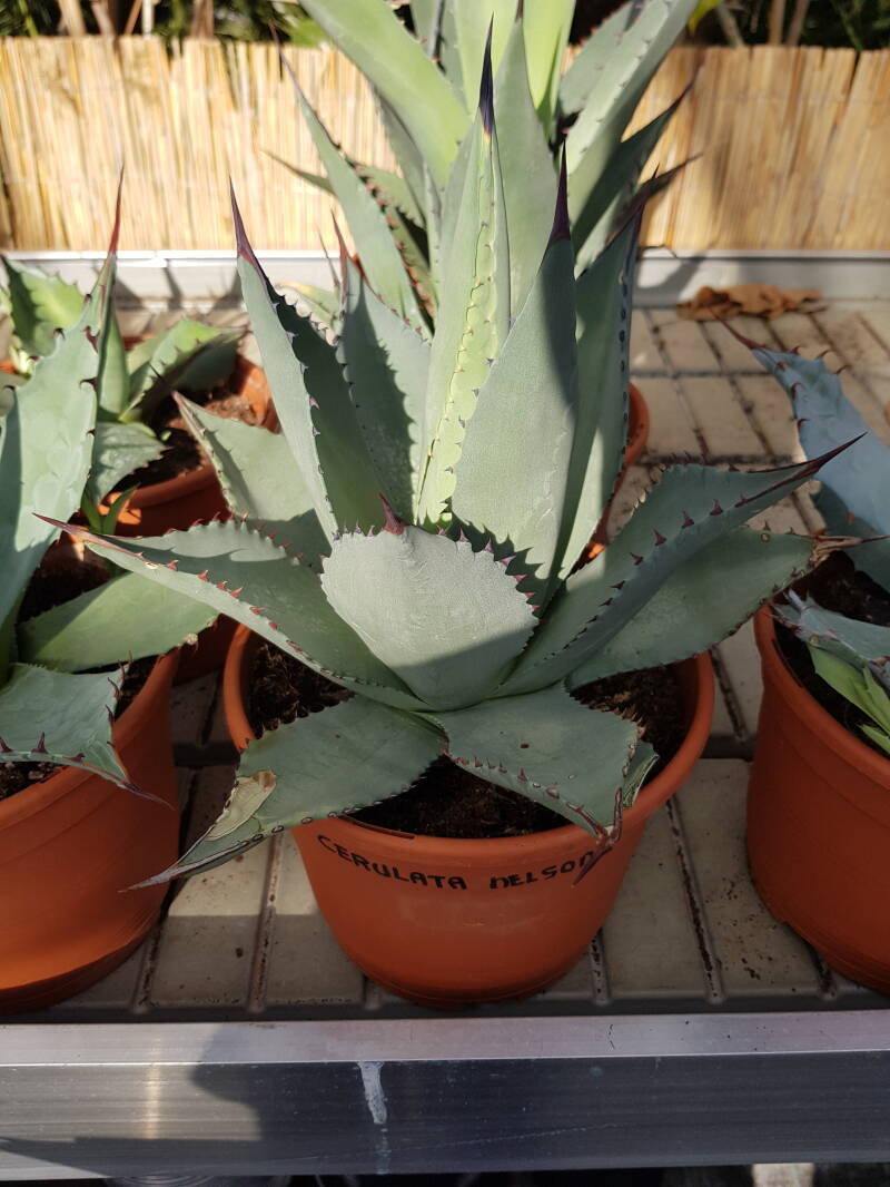 AGAVE CERULATA NELSONII (SMALL)