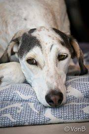 INFORMATION ABOUT THE SALUKI | vzw Rescue Salukis Middle East