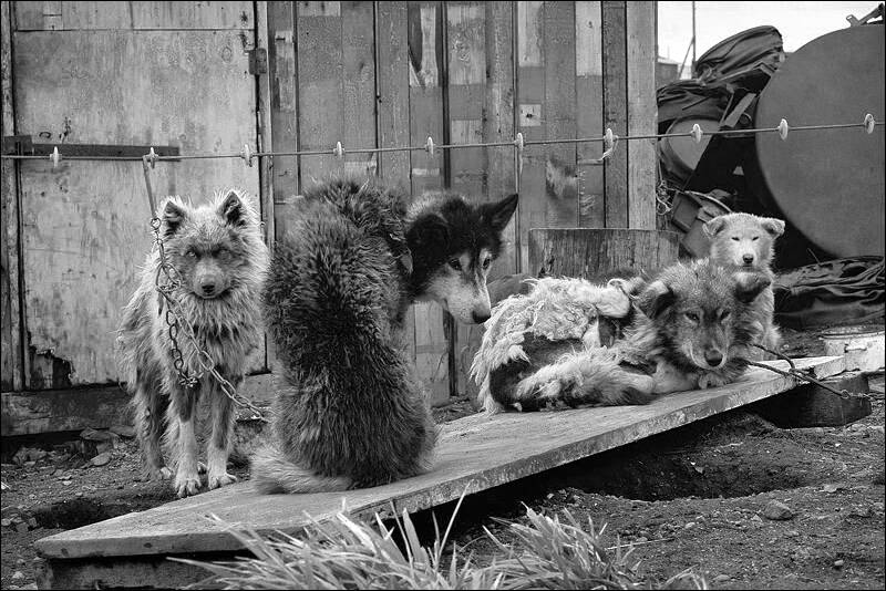 CHUKOTKA - SLED DOGS ON A CHAIN