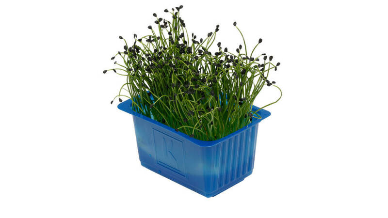 Rock Chives® - Koppert