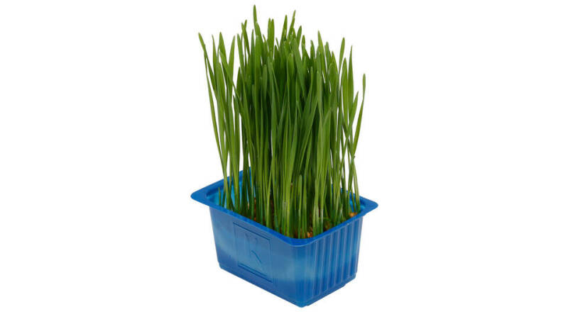 Wheat Grass - Koppert