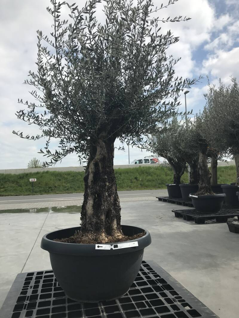Olea bonsai in schaal n°201