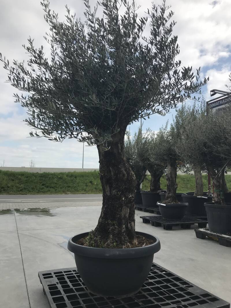 Olea bonsai in schaal n°202