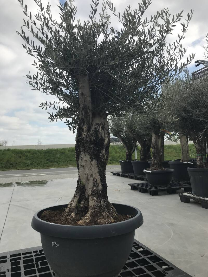 Olea bonsai in schaal n°204
