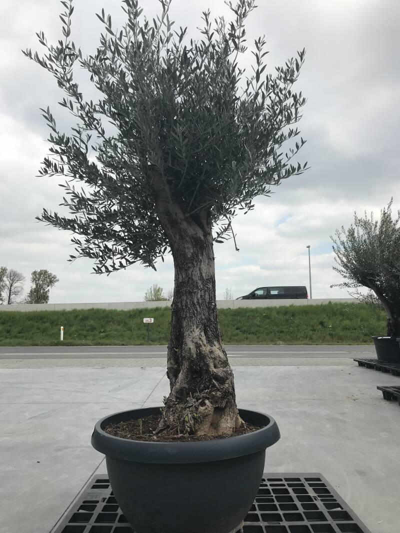 Olea bonsai in schaal n°211