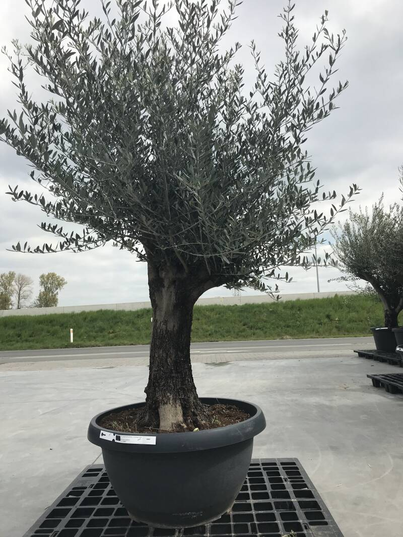 Olea bonsai in schaal n°212