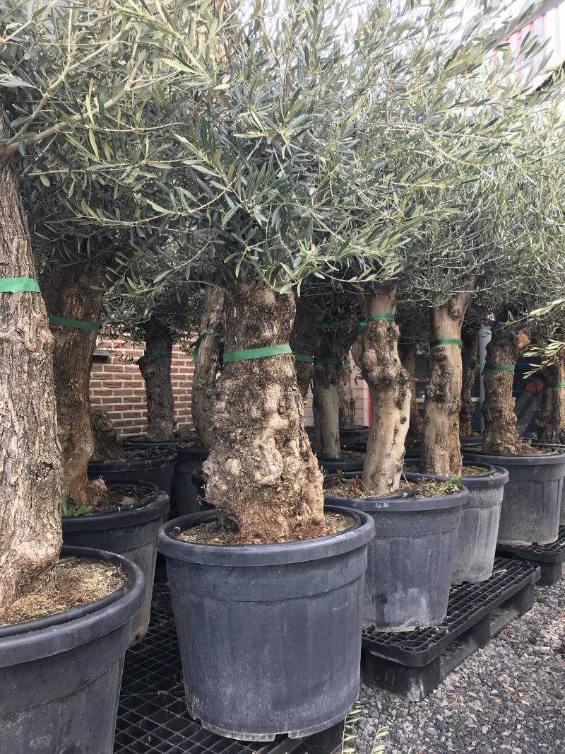 Olea europea 'Bonsai' SUPERPROMOTIE