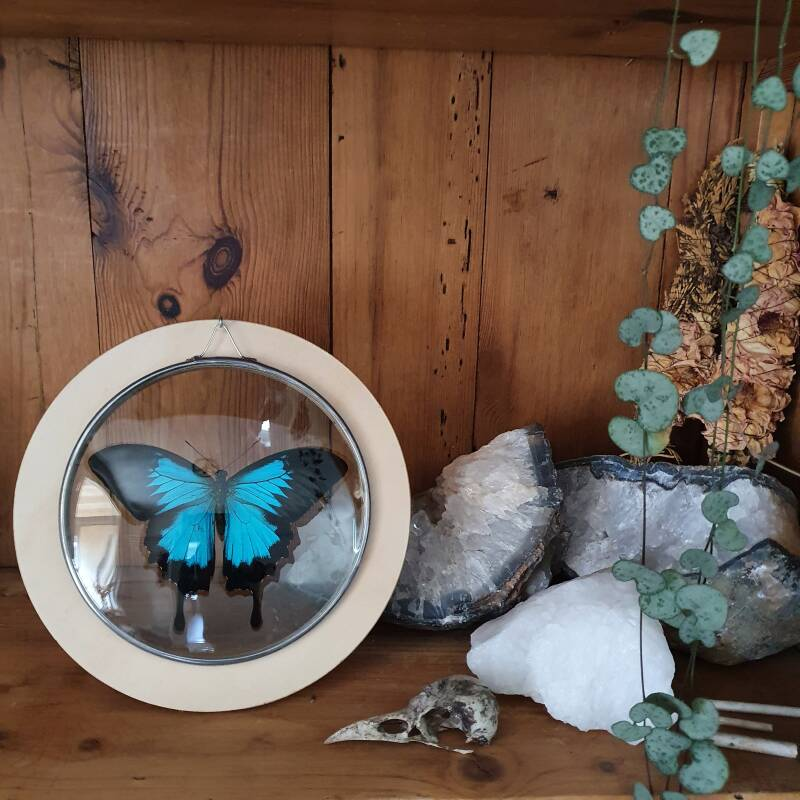 Papilio Ulysses - glas in lood medaillon