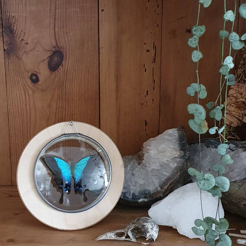 Papilio pericles - glas in lood medaillon