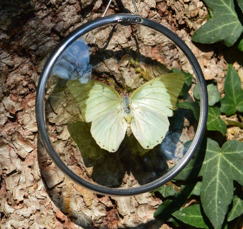 Charaxes Eupale in Glas in lood medaillon