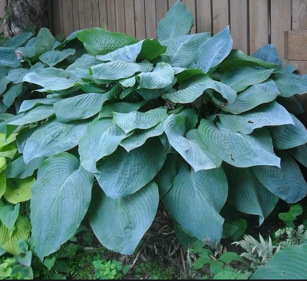 Hosta 'Big Daddy' - P9cm