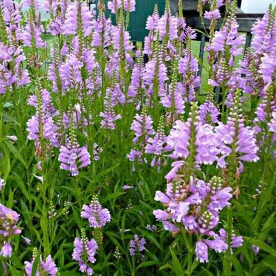Physostegia virg. 'Bouquet Rose' - P9cm