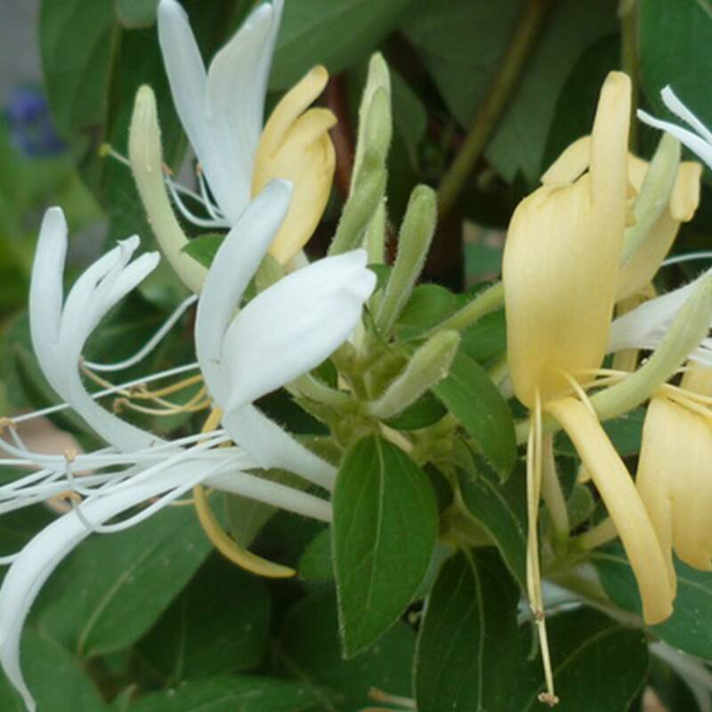 Lonicera jap. 'Hall's Prolific' - Pot