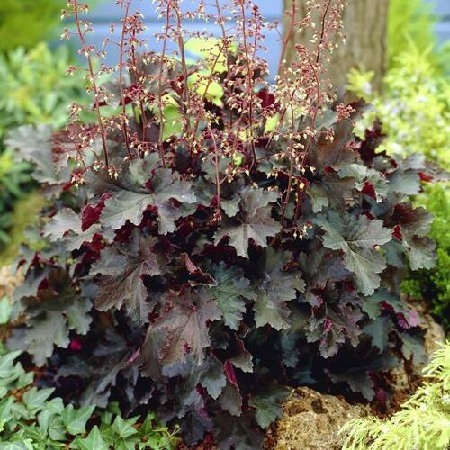 Heuchera mic. 'Palace Purple' - P8cm