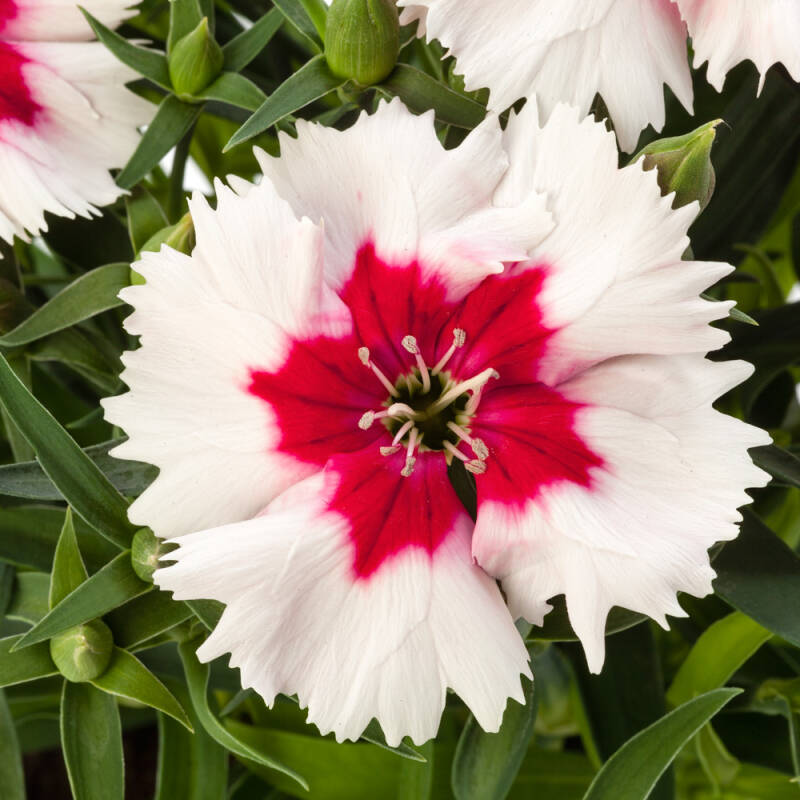 Dianthus - 'Red Peppermint'