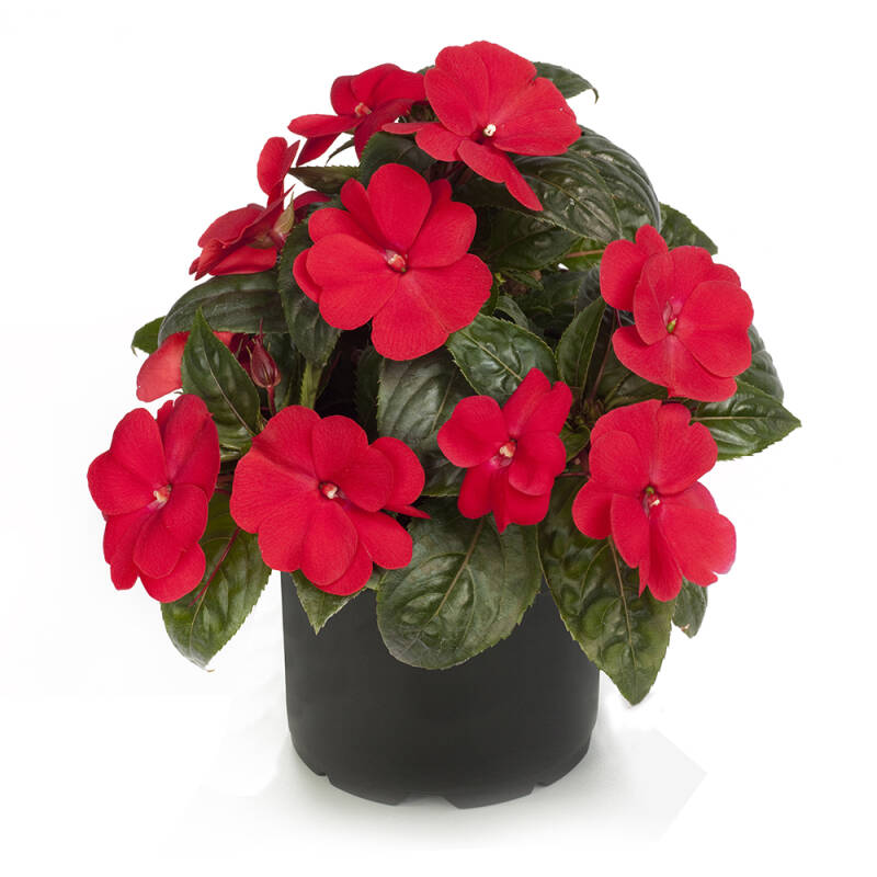 Impatiens - New Guinee - Rood
