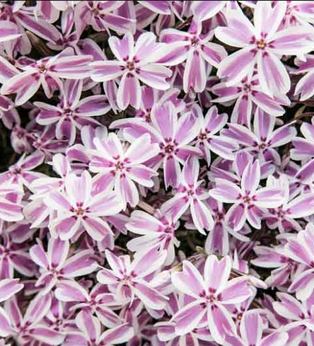 Phlox (S) 'Candy Stripes' - P9cm
