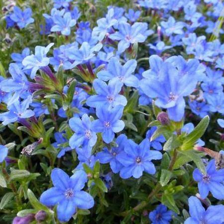 Lithodora d. 'Heavenly Blue' - P8cm