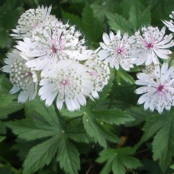 Astrantia major - P8cm