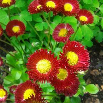 Bellis - Madeliefje - Rood