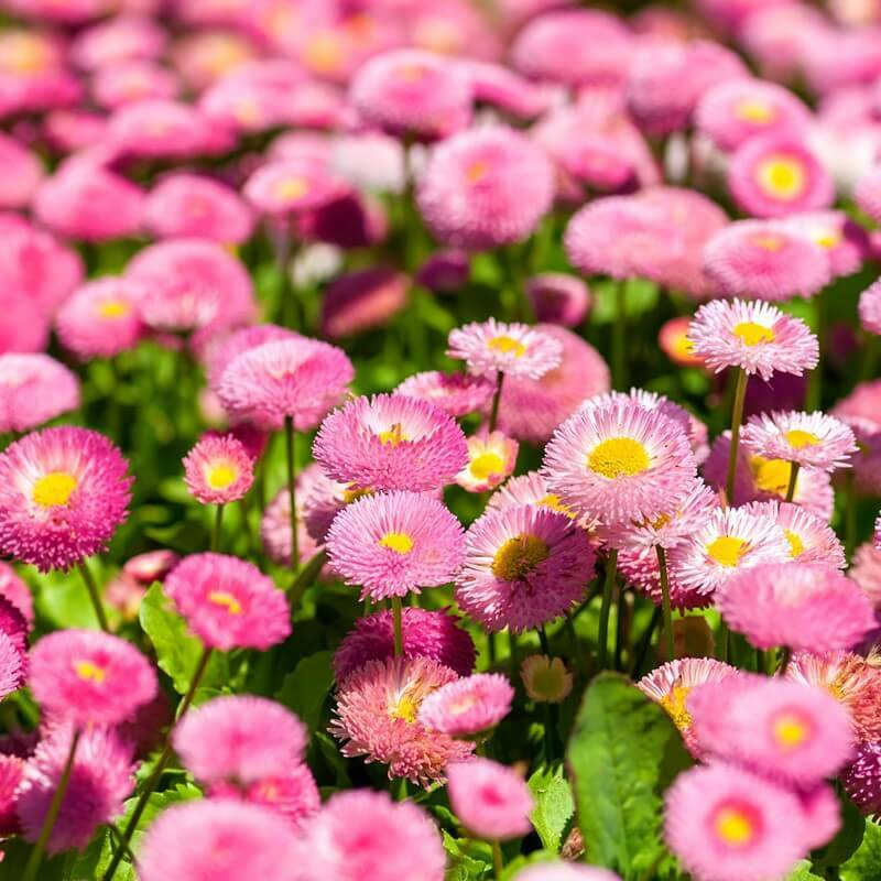 Bellis - Madeliefje - roos