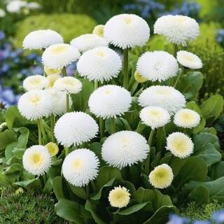 Bellis - Madeliefje - Wit