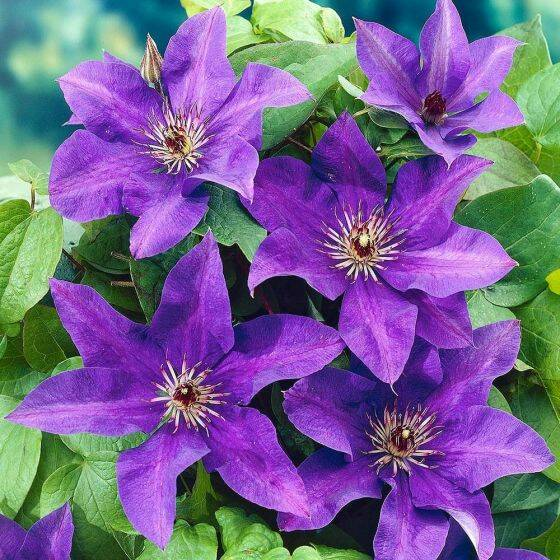Clematis 'The President' - Pot