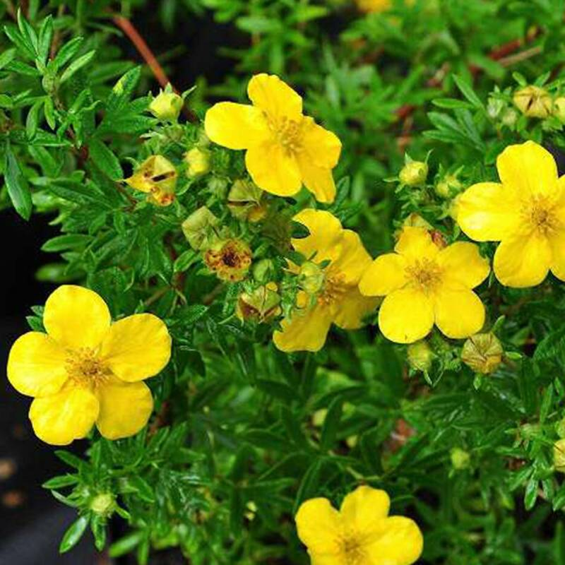Potentilla 'Yellow Queen' - P9cm