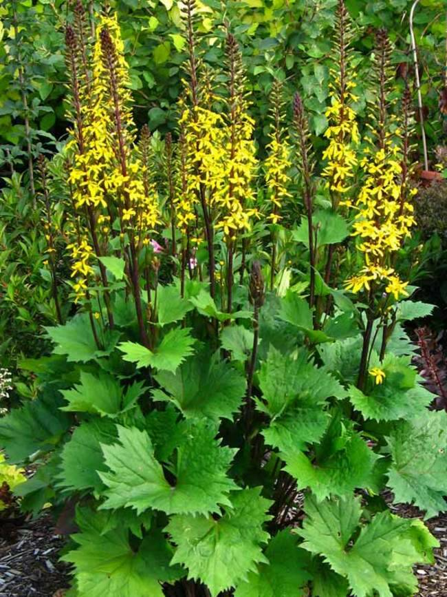 Ligularia stenocephala 'The Rocket' - P9cm
