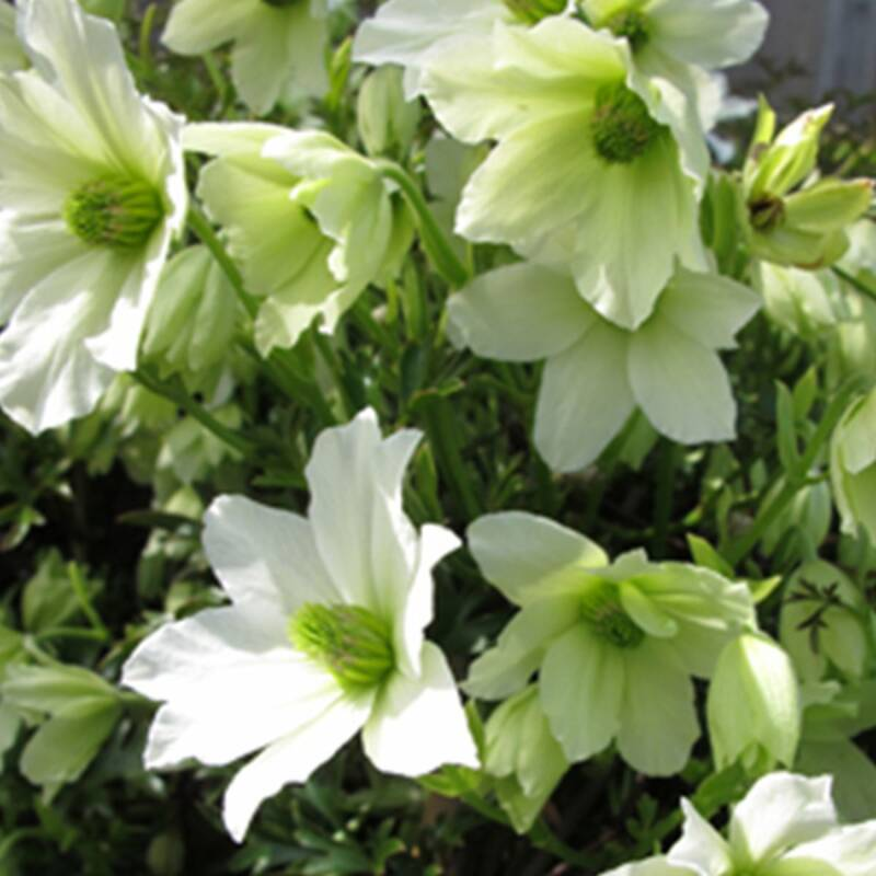 Clematis 'Early Sensation' - Pot