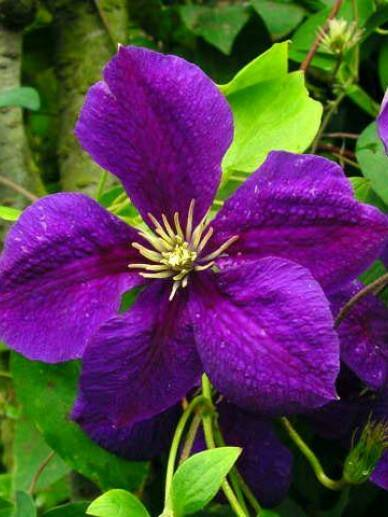 Clematis 'Superba' - Pot