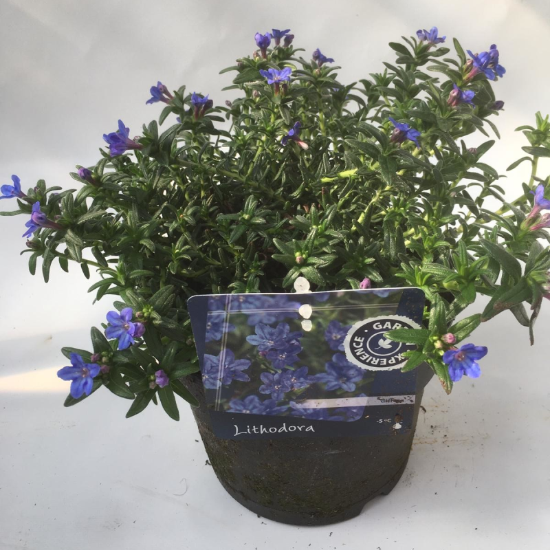 Parelkruid 'Lithodora' 3 of 4 stuks
