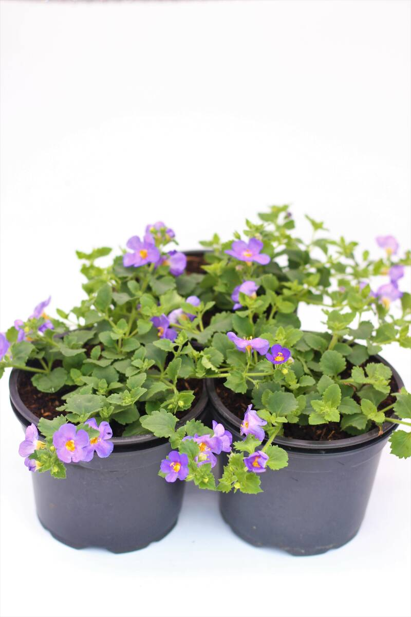 Bacopa (pot)