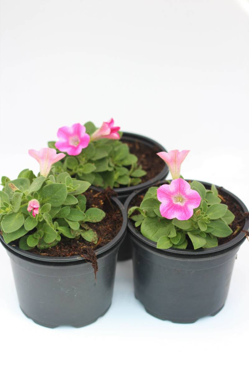 Petunia roze/wit (pot)