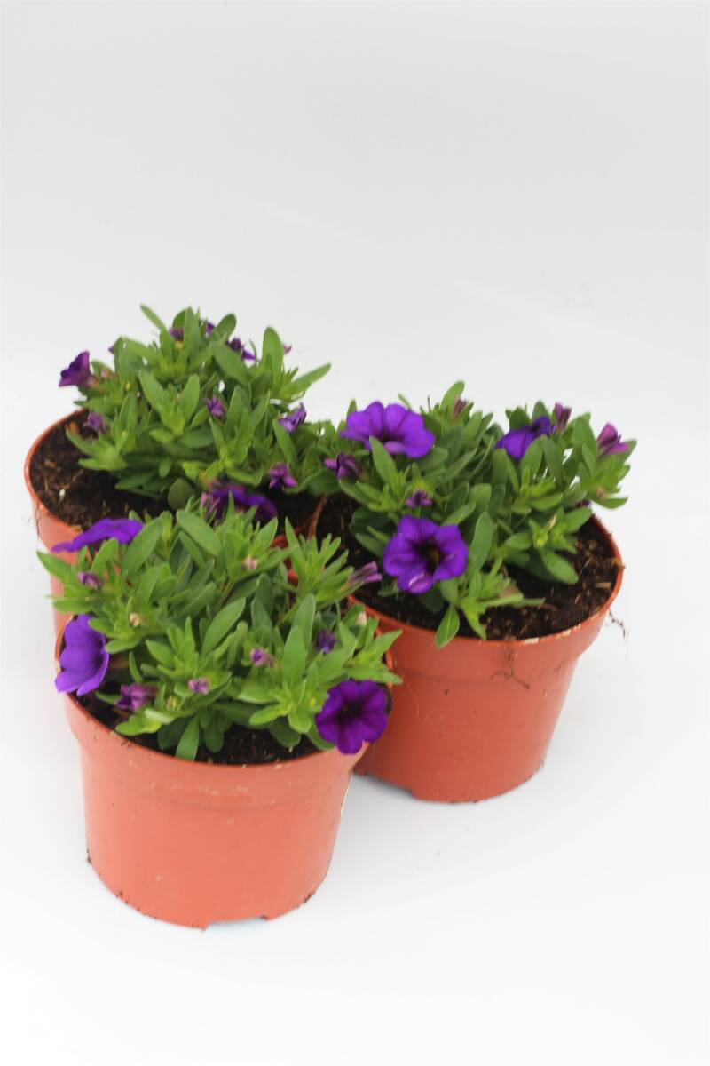 Calibrachoa paars (pot)